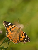 Painted Lady/Distelvlinder 29