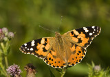 Painted Lady/Distelvlinder 30