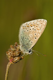 Common blue/ Icarus blauwtje 68