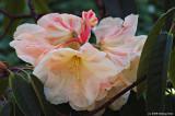 Regal Rhododendrun