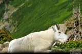 Mountain Goat in Glacier Park