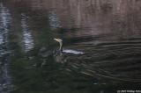 Cormorants At Delta Ponds