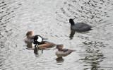 Hooded Mergansers At Delta Ponds