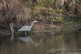 Herons At Delta Ponds