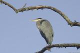 Framed - (Great Blue Heron)