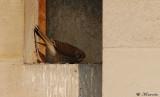 La femelle revient au nid pour ne plus en repartir.