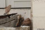 Il protège son déjeuner avec ses ailes. Ce n'est pas du goût de son frère (ou sa soeur) qui veut sa part.
