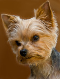08-08 Tiger Teacup Yorkshire Terrier 04.JPG
