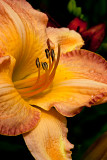 09-06 Lilies 01.JPG