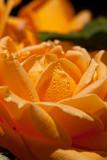 09-06 Roses 02.JPG