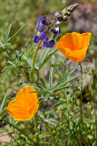 Wildflowers at Picacho Peak and AZ HY 60