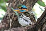 Spotted Wood Kingfisher (Philippine Endemic)