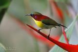 Handsome Sunbird (male)