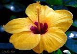 Yellow giant Gumamela