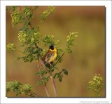 Zwartkopgors - Emberiza melanocephala - Black-Headed Bunting