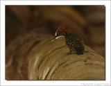 Strepenspecht    -    Hispaniola Woodpecker
