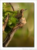 Strepenspecht - Melanerpes striatus- Hispaniola Woodpecker