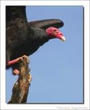 Roodkopgier    -    Turkey Vulture