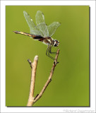 Libel    -    Dragonfly