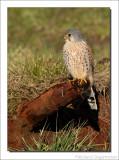 Torenvalk - Falco tinnunculus - Common Kestrel