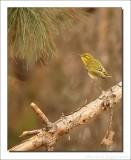 Fluiter - Phylloscopus sibilatrix - Wood Warbler