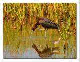 Zwarte Ibis - Plegadis falcinellus - Glossy Ibis