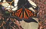 Monarch Butterflies of Santa Cruz