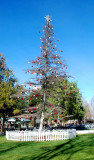 Charlie Brown's recession holiday tree in Concord,CA