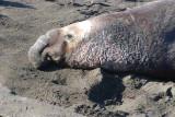 Elephant Seals of Piedras Blanca