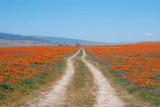 California Poppy Reserve, 2010