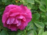 Damp Rose.jpg
