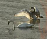 Swans in the Bay.jpg