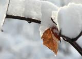 Snowy Leaf.jpg