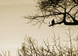 Evening Eagle.jpg