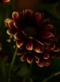 Dark Daisy.jpg