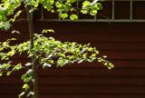 Spring Birch.jpg