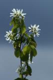 Saskatoon blossom.jpg