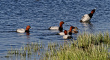 Brunand  Common Pochard