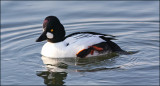 Knipa Common Goldeneye Uppland