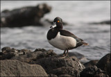Ringand  Ring-necked Duck