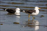 Siltrut Lesser Blac-backed Gull Uppland