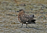 Storlabb Great Skua Island