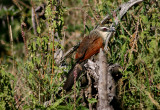 White browed coucal Tanzania