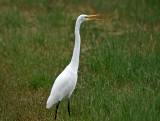Great Egret Azorerna