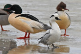 Smew Goosander Common Merganser.jpg
