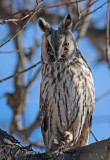 Hornuggla Northern Long-eared Owl Uppland