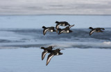 Vigg Tufted Duck