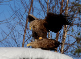 002 Havsörn White-tailed Eagle.jpg