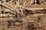 Wood Duck (Juvenile)