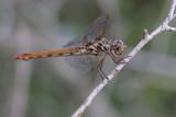 female Roseate Skimmer.jpg
